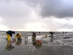 Cockle Pickers die at Morecambe Bay